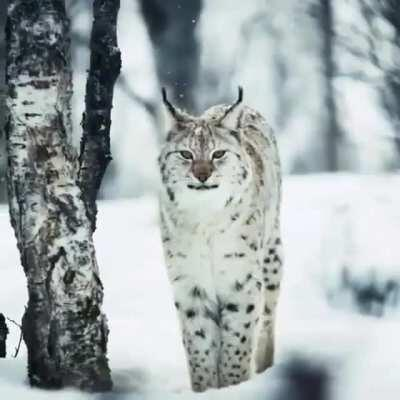 The name Lynx is derived from the Indo-European root leuk- ('light, brightness'), in reference to the luminescence of its reflective eyes. Also, those furry paws function as natural snowshoes.