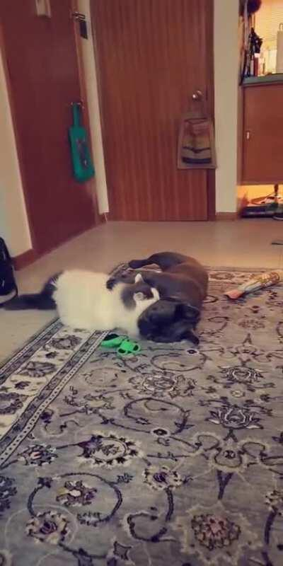 My mom adopted a cat so her dog would have a friend. They're basically attached at the hip and play all the time.