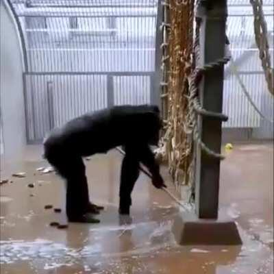 A Keeper At Tallinn Zoo Forgot a Broom In The Chimpanzee Enclosure - This Followed...