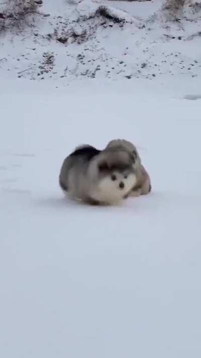 Alaskan Malamutes