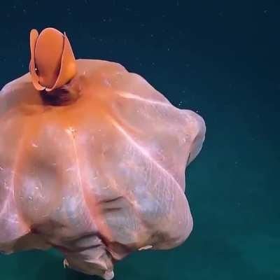 Incredible octopus stretching it's tentacles to form a huge balloon captured by EVNautilus at a depth of around 1600 meters (5,250 feet).