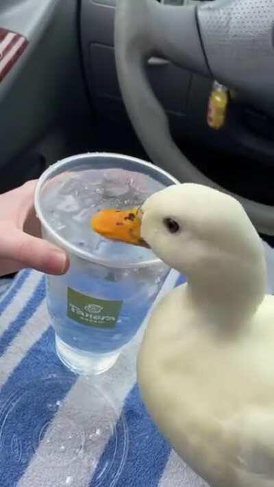 This duck loves ice water so much 😍