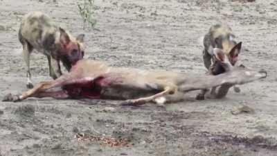African Wild Dogs nibbling on a live Kudu