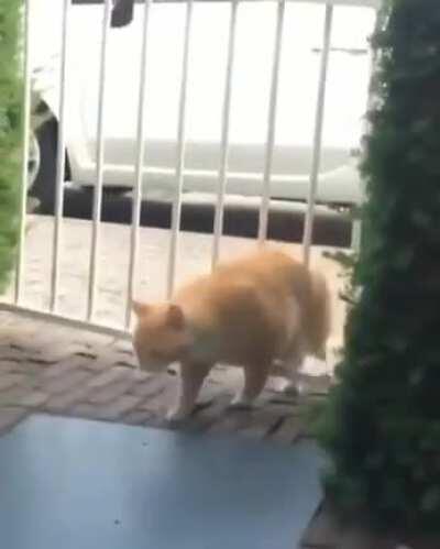 Chonky cat vs a gate!