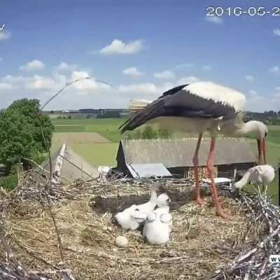 Stork mother throwing one of her chicks out of the nest to enhance the survival probability of her other chicks