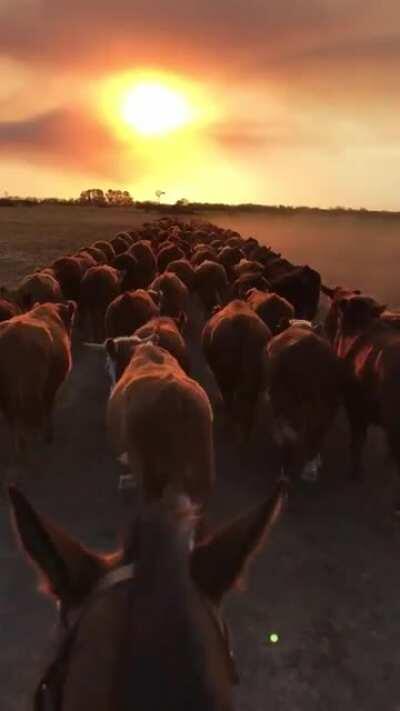 Levando o gado para outra cidade / Escorting the cattle quest