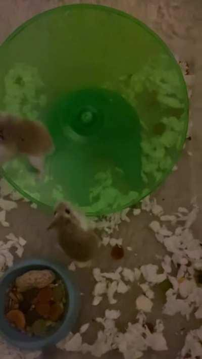 my 2 hamsters on there wheel while there house gets cleaned out :)