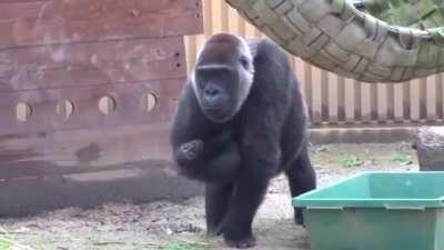 This Gorilla mom is dealing with her eldest son's jealousy of the baby, and she is DONE with his shit
