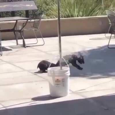 Two itty bitty bear cubs going at it