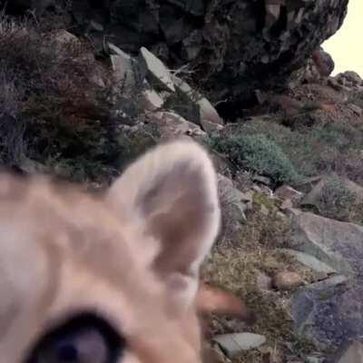 This puma checking out a trail camera