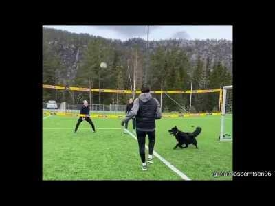 dog knows how to play volleyball