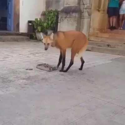 I don't know what the fuck this is. I'm posting it here until we get to the bottom of it. Not a dog. Not a wolf. Not a fox. Not a hyena.