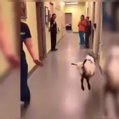 The lamb dances with the veterinarian who healed him in the hospital