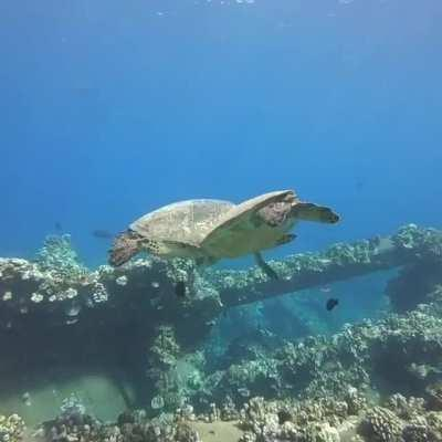 Saw these majestic sea turtles at Mala Pier in Maui.