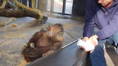 Orangutan sees a magic trick