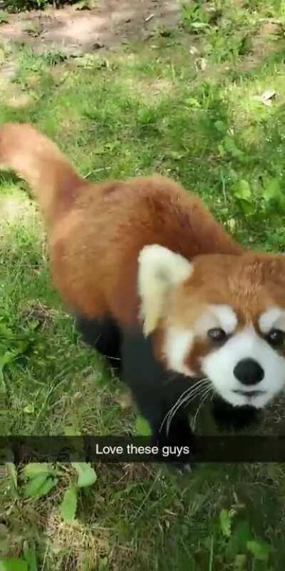 Friendly Red Panda Friend