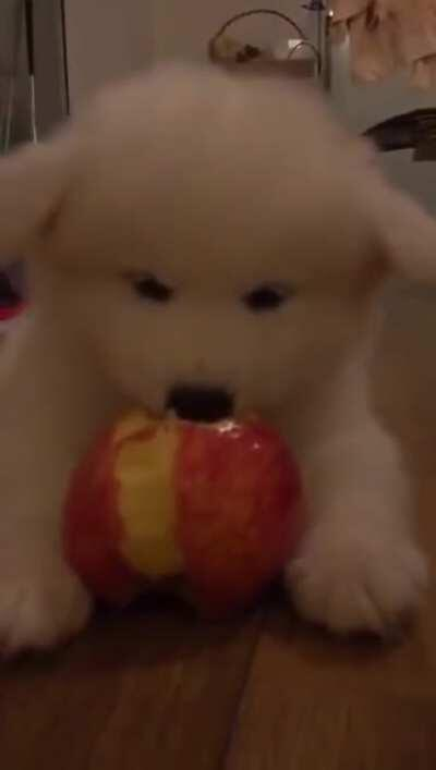 A cute samoyed puppy eating an apple [Unintentional] [Puppy] [Eating]