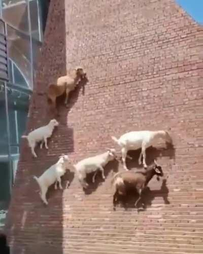Just some goats casually defying physics