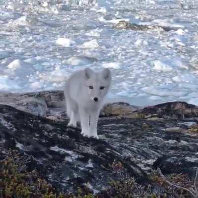A young arctic fox approaches an awestruck photographer in Greenland