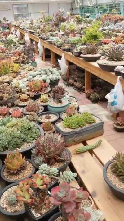 My MIL is an artist in S. Korea, here is a vid of her private succulent collection. She treats each one as a piece of art. Although she was always heavily into plants, succulents have been her focus for the past 20 years. She also made some of the pots, I
