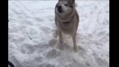 """Husky says """"no"""" when asked to come inside"""