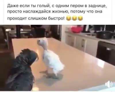 Танец попугая