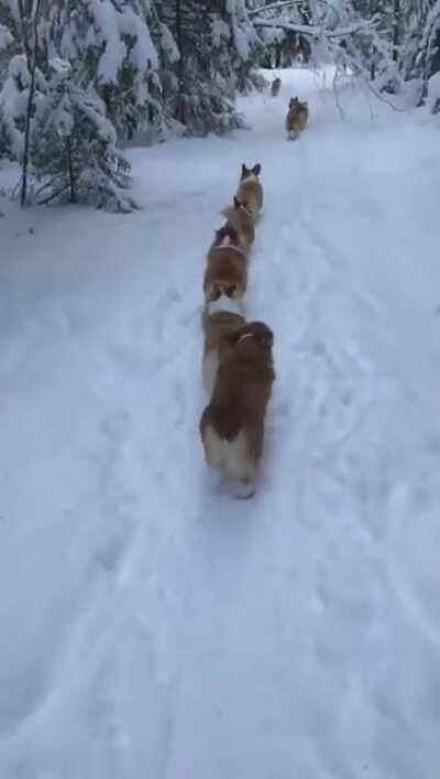 Corgi pups march in single file to conceal the strength of their number from the enemy