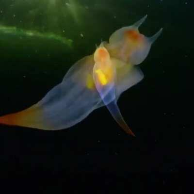 This is not CGI. This is a real-life creature known as a sea angel (Clione sp.) hovering under ice in the White Sea, Russia.