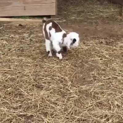Baby goat is too cute for this world