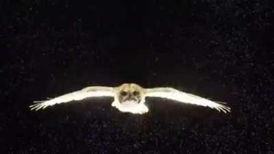 An owl glides through a field of neutrally buoyant soap bubbles, revealing wingtip and tail vortices.