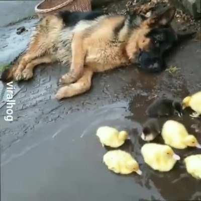 oh to be a german shepherd guarding a bunch of ducklings