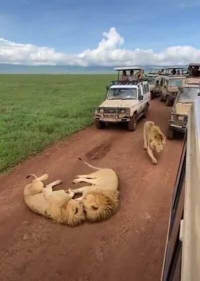 Lions just minding their own business till the third lion shows up