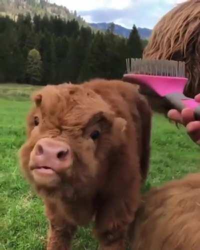 Fluffy Cow ❤️