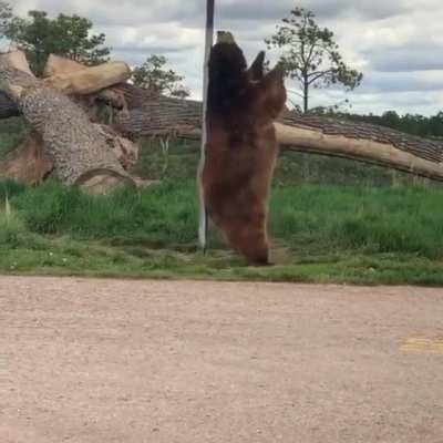 bear brushy