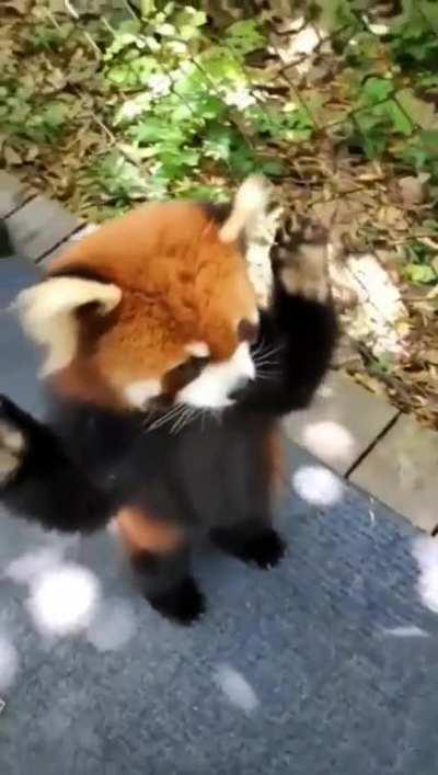 Adoreble red panda