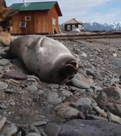 This cute baby seal was found on the shore of Lake Baikal. Local scientists and their pet dog took care of the seal.