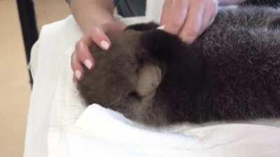 Joey the Sea Otter Pup from Marine Mammal Rescue Centre