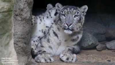 Snow leopard cub is testing patience of its mum