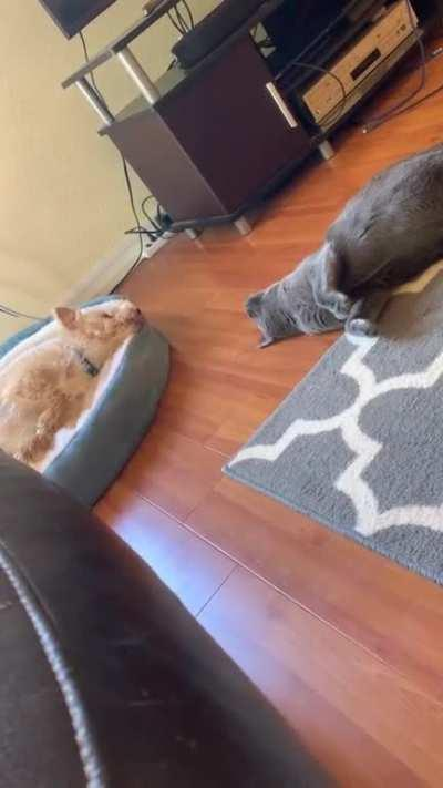 Our cat mimicking our dog
