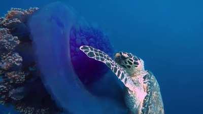 Turtle nom noms