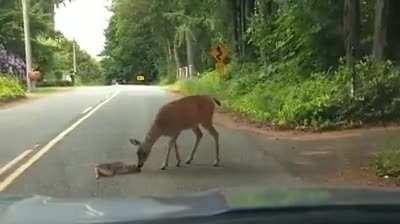 This little baby deer got so scared crossing the road from seeing the car approaching, it dropped down in the middle of the road and wouldn't move. After stopping and turning the car off to help them calm down, the mama deer cautiously came to the rescue.