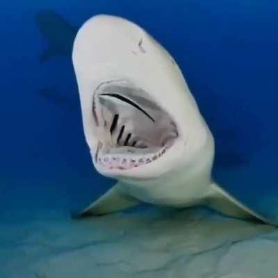 Lemon shark gets a VIP teeth cleaning
