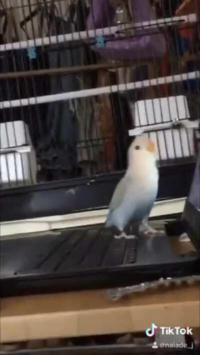 """This is Appa, my 4month old Lovebird that I got 4 days ago having some """"zoom calls"""" for his job."""
