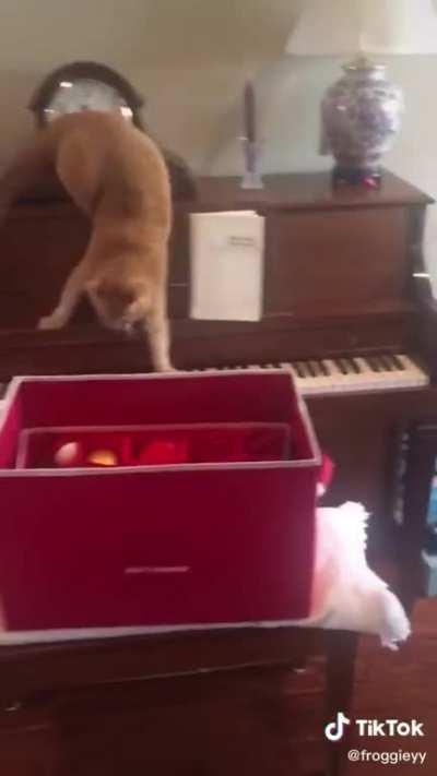 Cat tries to get off of a piano.