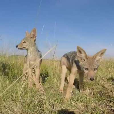Baby Jackals are called pups. The youngest ones are very vulnerable because many are swooped up by eagles. They start hunting at around 6 months old, then become sexually mature. Some will leave their parents at 11 months old, choose a mate for life, and