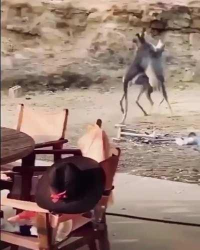 I've seen Kangaroo fights before but this one is a lil different...