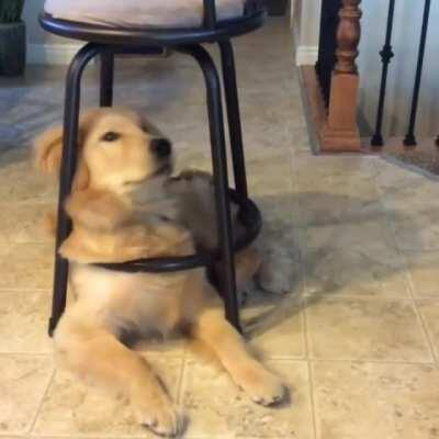The rare chair doggo