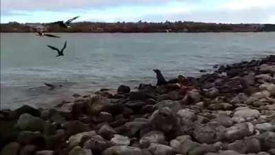 Sea Lion still alive after beign bitten in half by a shark