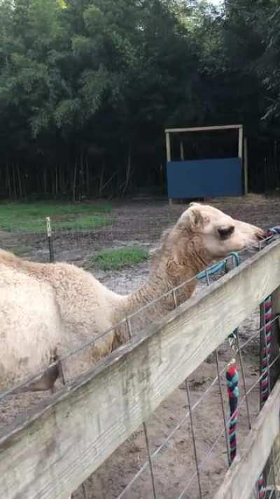 Baby camel wants his bottle