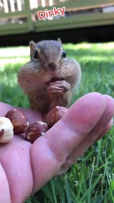 Chipmunks (Tamias) have large cheek pouches that allow them to transport food. These pouches can reach the size of their body when they are full.